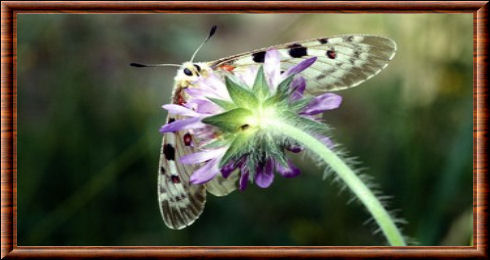 Papillon petit Apollon