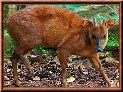 Peruvian dwarf brocket