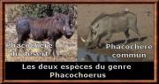 phacochoerus