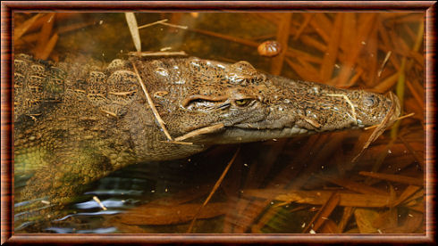 Philippine fresh water crocodile