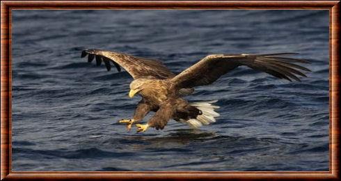 Tôle Plaque XXL Espèces D/'Oiseaux Pygargue à queue blanche