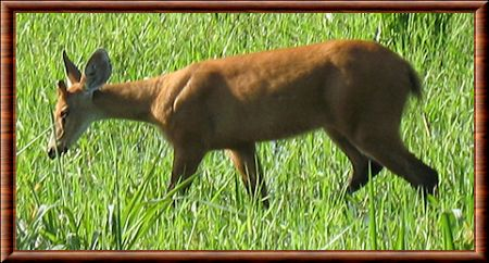 Red brocket