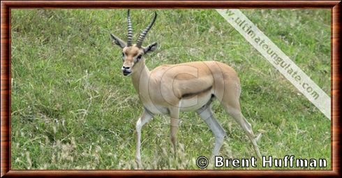 Red-fronted gazelle