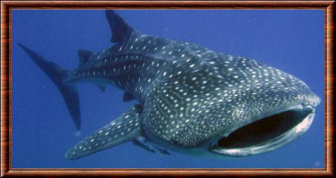 Requin baleine rhincodon typus - Coloriage de requin baleine ...