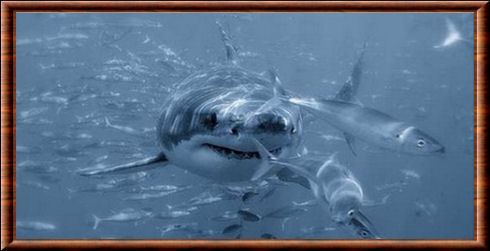Requin blanc (Carcharodon carcharias)