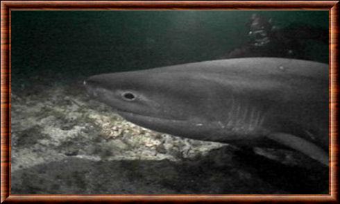 Requin griset 04