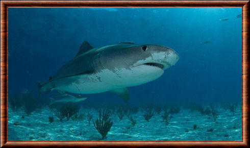 Requin-tigre 01