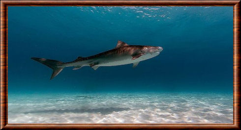 Requin-tigre 02