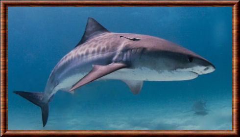 Requin-tigre 04