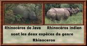 Rhinocerosgenre
