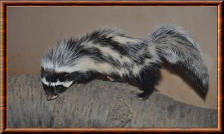 Saharan striped polecat