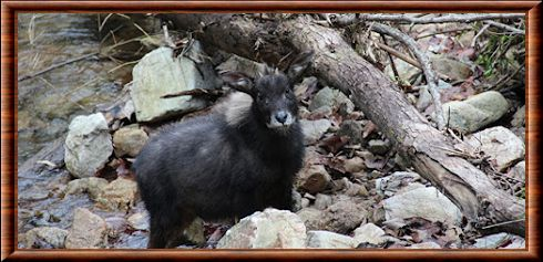 Serow de Chine