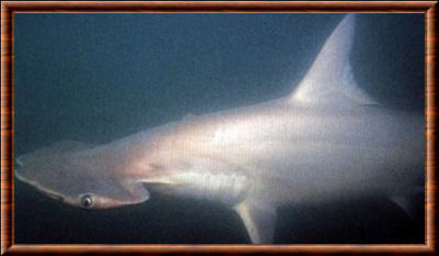 Smalleye hammerhead shark
