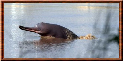 South Asian river dolphin