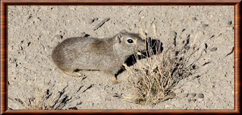 Southern mountain cavy