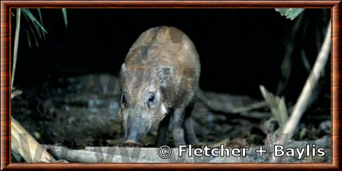 Sulawesi warty pig