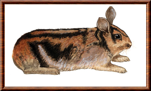 Sumatran rabbit