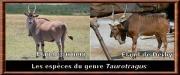 Taurotragus