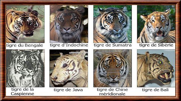 """Résultat de recherche d'images pour """"tout les tigres du monde"""""""