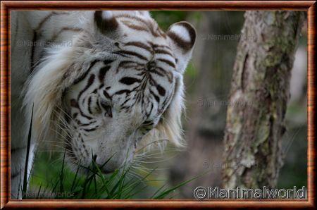 tigre blanc royal panthera tigris uncia. Black Bedroom Furniture Sets. Home Design Ideas