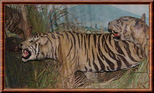 Tigre De Java Panthera Tigris Sondaica