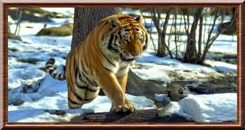Bekannt Tigre de Sibérie (Panthera tigris altaica) OY52