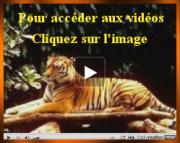 video-tigre.jpg