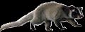 le chat ours (binturong) viverrides