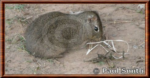 Yellow-toothed Cavy
